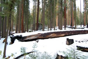 snowy-forest-big-trees